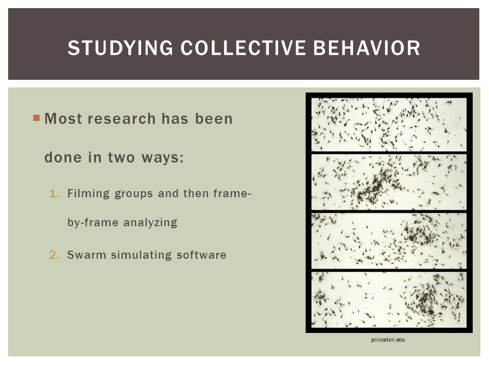  Most research has been done in two ways: 1.Filming groups and then frame- by-frame analyzing 2.Swarm simulating software STUDYING COLLECTIVE BEHAVIOR princeton.edu