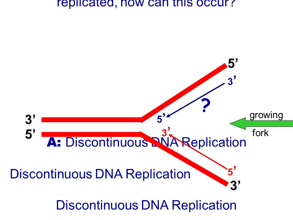-Problem- Q: If DNA can only be synthesized in a 5' to 3' direction, and both strands are simultaneously replicated, how can this occur.