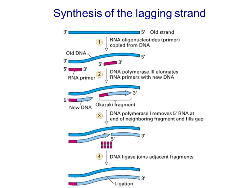Synthesis of the lagging strand