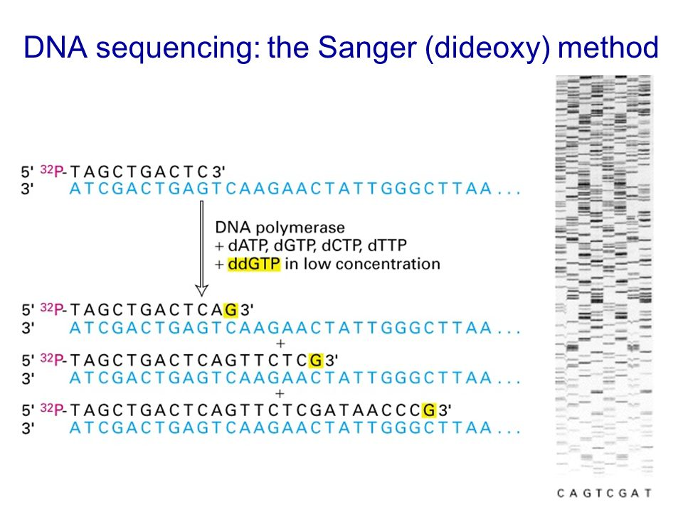 DNA sequencing: the Sanger (dideoxy) method