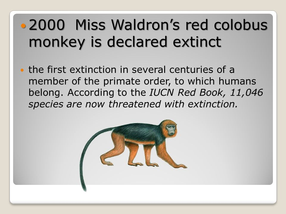 2000 Miss Waldron's red colobus monkey is declared extinct 2000 Miss Waldron's red colobus monkey is declared extinct the first extinction in several centuries of a member of the primate order, to which humans belong.