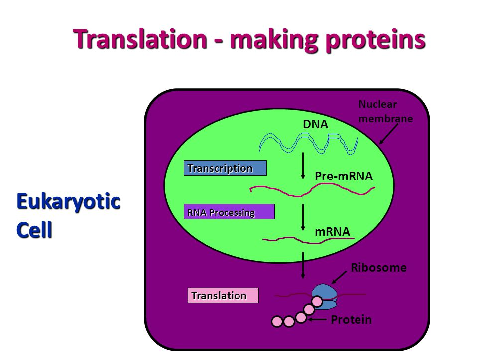 Translation - making proteins Nuclear membrane Transcription RNA Processing Translation DNA Pre-mRNA mRNA Ribosome Protein Eukaryotic Cell