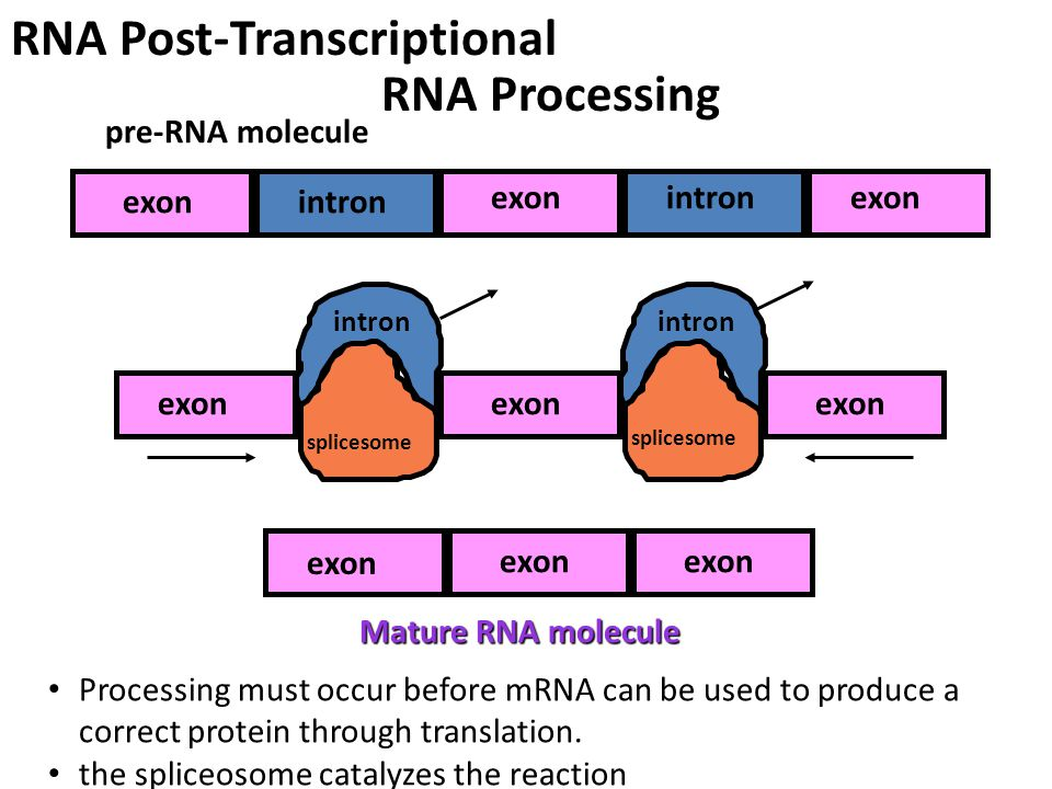 RNA Processing pre-RNA molecule intron exon Mature RNA molecule exon intron splicesome Processing must occur before mRNA can be used to produce a correct protein through translation.