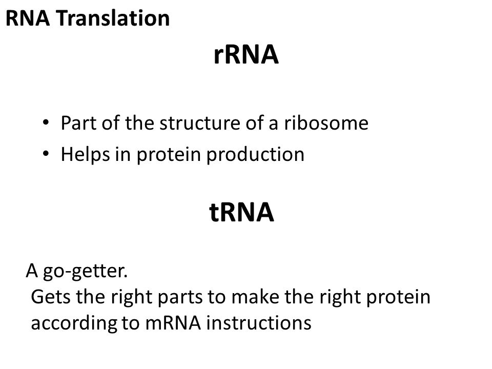rRNA Part of the structure of a ribosome Helps in protein production tRNA A go-getter.
