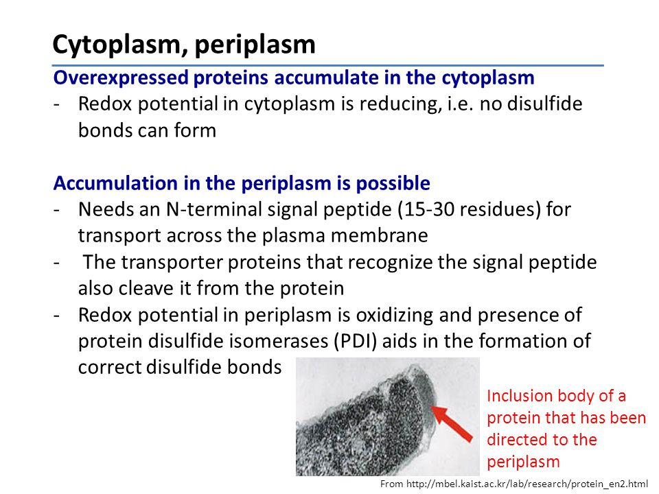 Cytoplasm, periplasm Overexpressed proteins accumulate in the cytoplasm -Redox potential in cytoplasm is reducing, i.e.