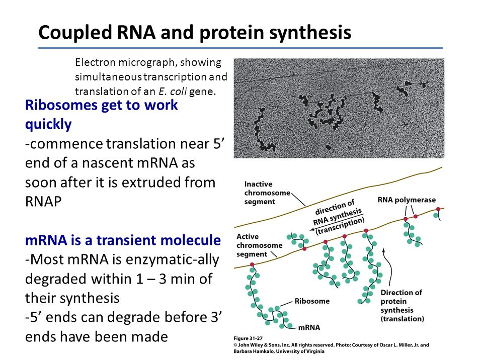 Electron micrograph, showing simultaneous transcription and translation of an E.