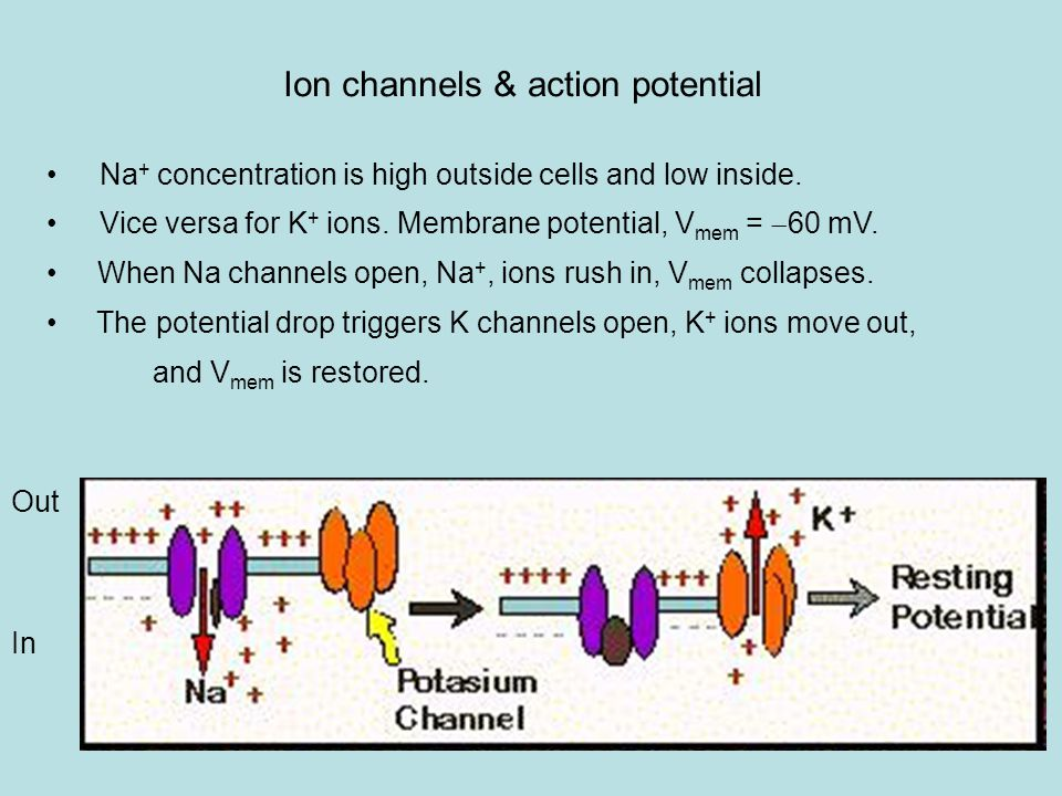 Ion channels & action potential Na + concentration is high outside cells and low inside.