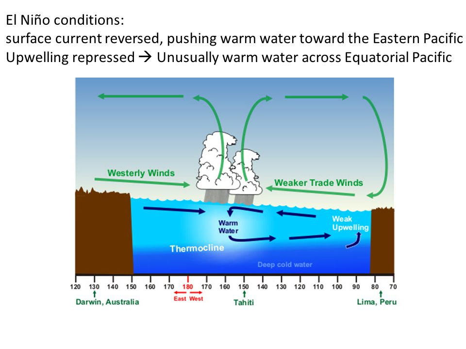 El Niño conditions: surface current reversed, pushing warm water toward the Eastern Pacific Upwelling repressed  Unusually warm water across Equatorial Pacific