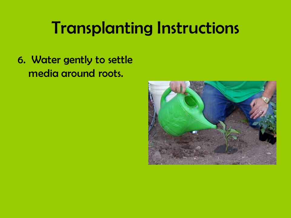 Transplanting Instructions 6. Water gently to settle media around roots.