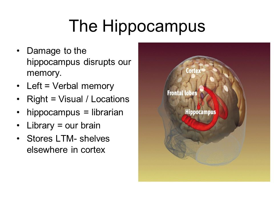 The Hippocampus Damage to the hippocampus disrupts our memory.