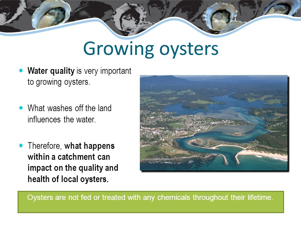 Growing oysters Water quality is very important to growing oysters.