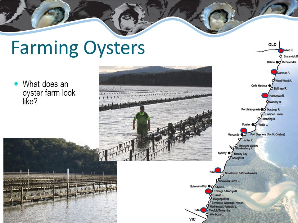 Farming Oysters What does an oyster farm look like