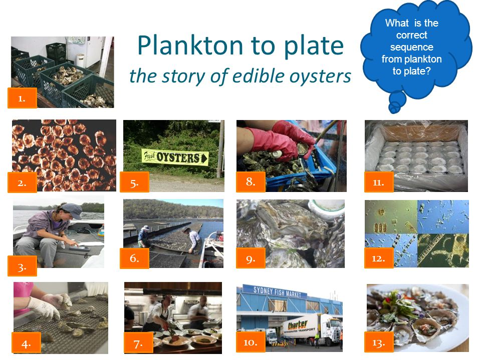 Plankton to plate the story of edible oysters What is the correct sequence from plankton to plate.