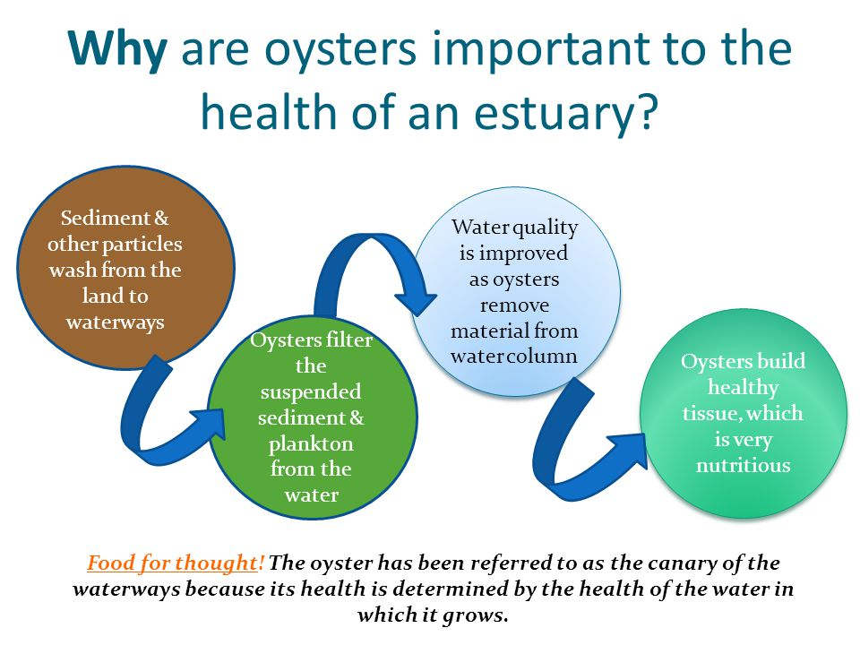 Why are oysters important to the health of an estuary.