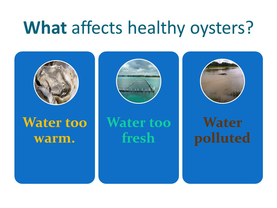 What affects healthy oysters Water too warm. Water too fresh Water polluted