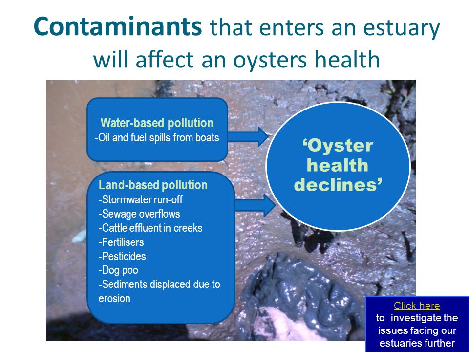 Contaminants that enters an estuary will affect an oysters health Water-based pollution -Oil and fuel spills from boats Land-based pollution -Stormwater run-off -Sewage overflows -Cattle effluent in creeks -Fertilisers -Pesticides -Dog poo -Sediments displaced due to erosion 'Oyster health declines' Click here to investigate the issues facing our estuaries further