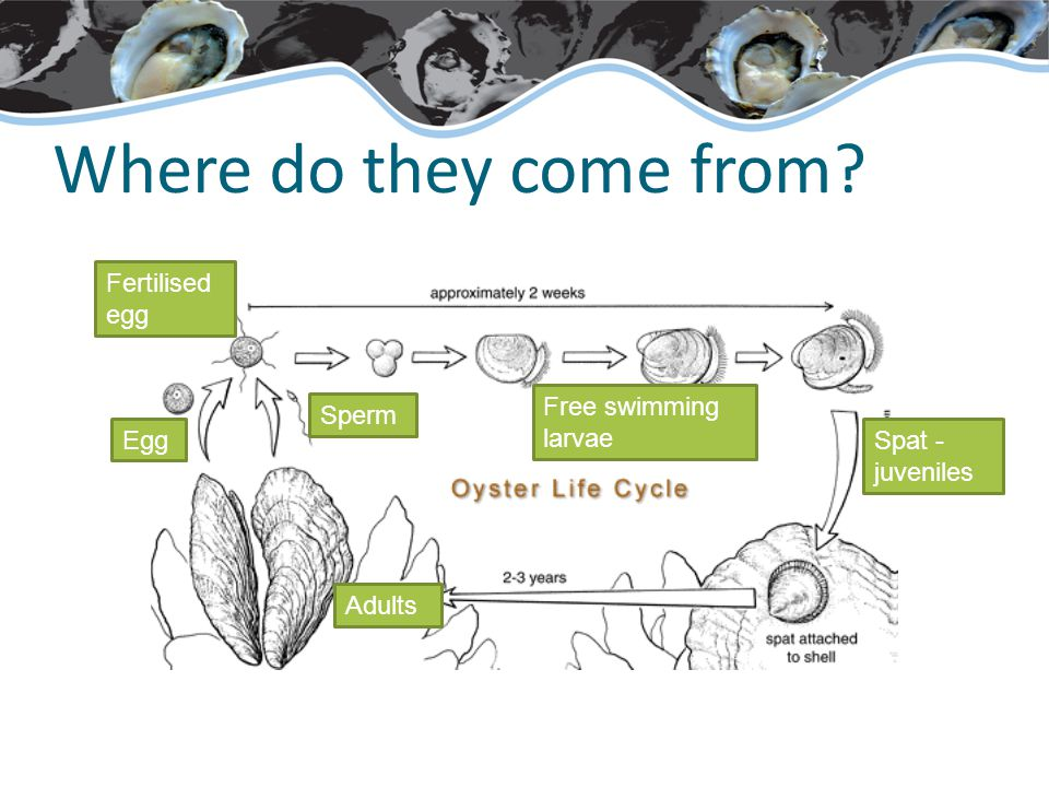 Where do they come from Adults Spat - juveniles Sperm Egg Fertilised egg Free swimming larvae
