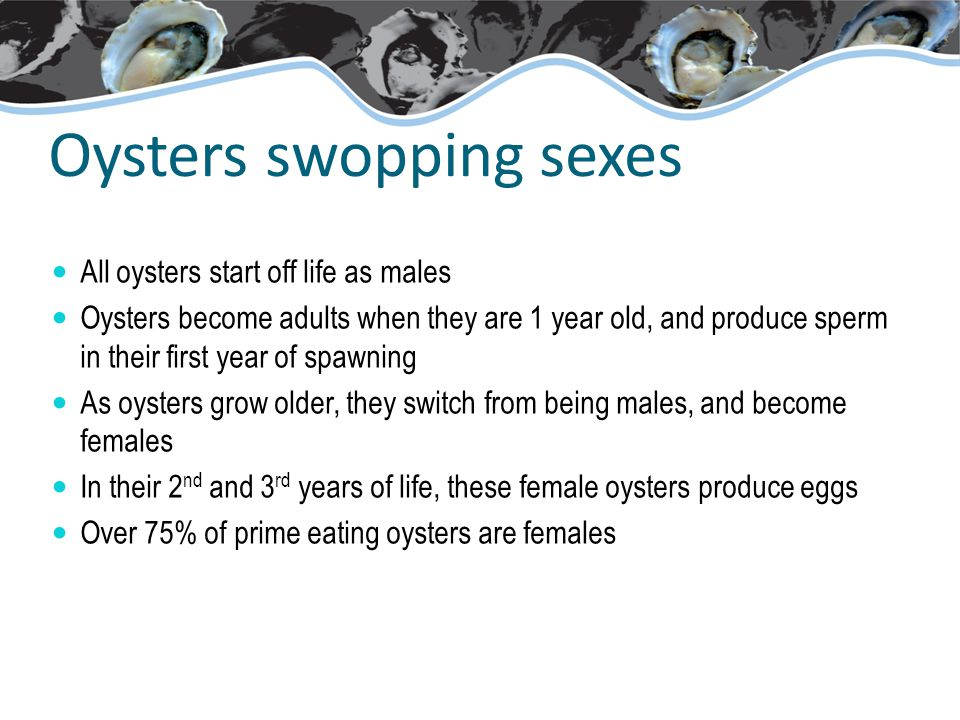 Oysters swopping sexes All oysters start off life as males Oysters become adults when they are 1 year old, and produce sperm in their first year of spawning As oysters grow older, they switch from being males, and become females In their 2 nd and 3 rd years of life, these female oysters produce eggs Over 75% of prime eating oysters are females