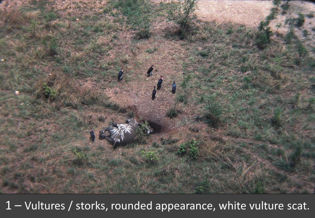 1 – Vultures / storks, rounded appearance, white vulture scat.