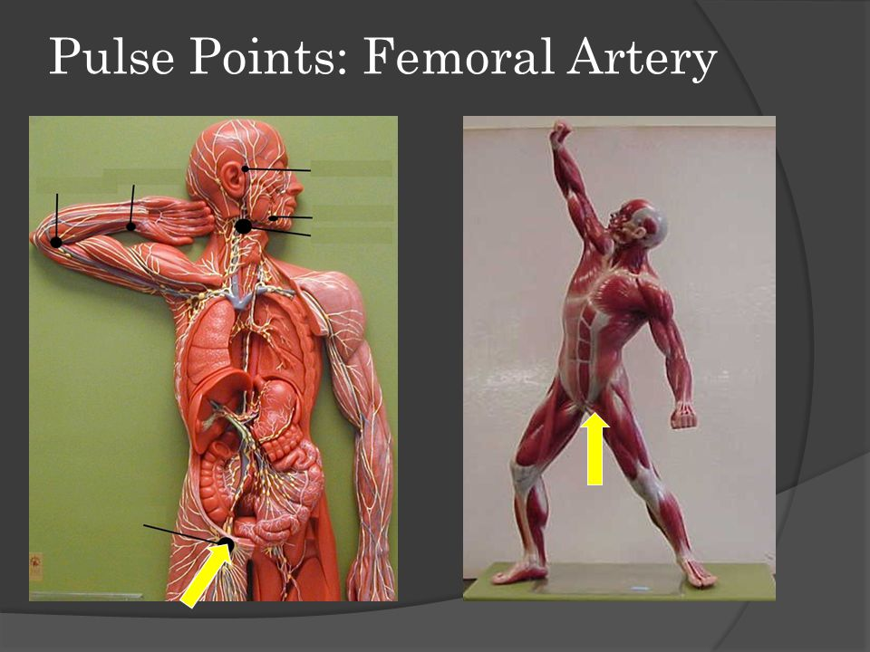 Pulse Points: Femoral Artery