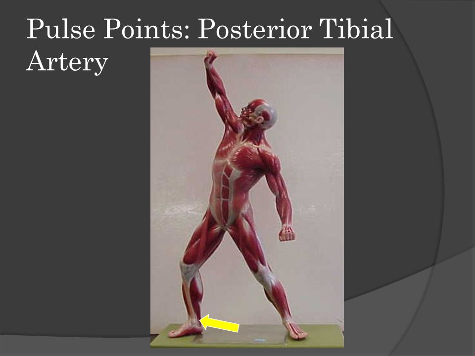 Pulse Points: Posterior Tibial Artery