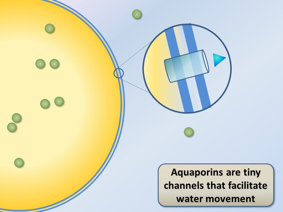 Aquaporins are tiny channels that facilitate water movement