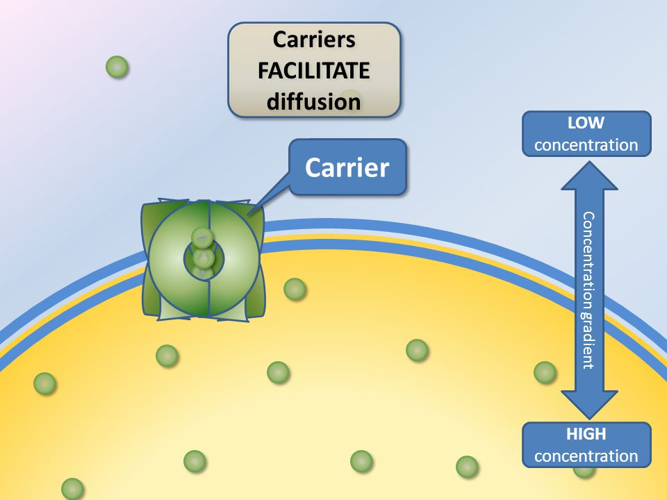 Carriers FACILITATE diffusion HIGH concentration LOW concentration Concentration gradient