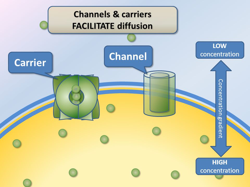 HIGH concentration LOW concentration Concentration gradient Carrier Channel Channels & carriers FACILITATE diffusion