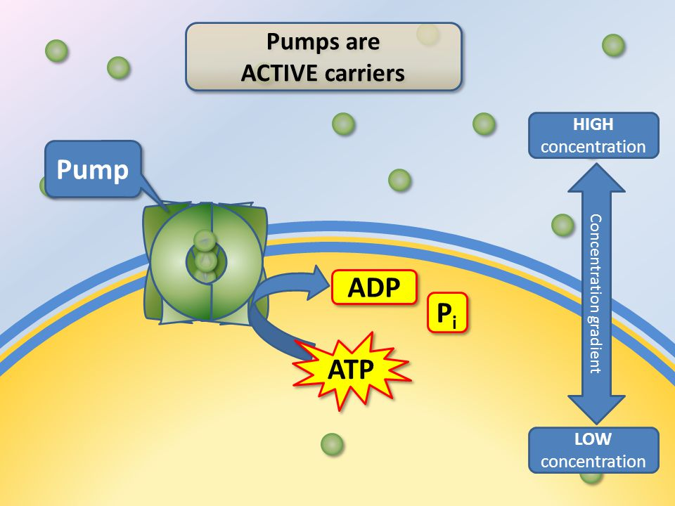 ATP ADP PiPi PiPi Pump Pumps are ACTIVE carriers Pumps are ACTIVE carriers LOW concentration HIGH concentration Concentration gradient