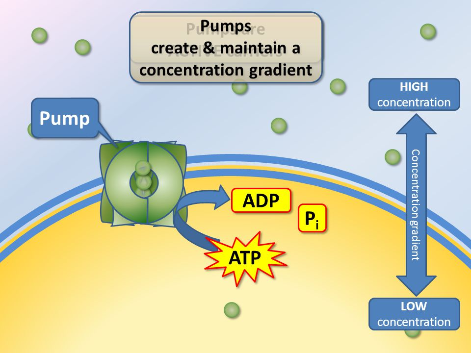 ATP ADP PiPi PiPi Pump Pumps are ACTIVE carriers Pumps are ACTIVE carriers LOW concentration HIGH concentration Concentration gradient Pumps create & maintain a concentration gradient Pumps create & maintain a concentration gradient