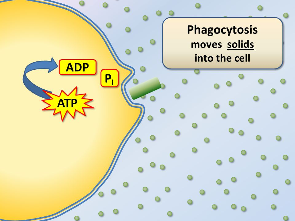 Phagocytosis moves solids into the cell Phagocytosis moves solids into the cell ATP ADP PiPi PiPi