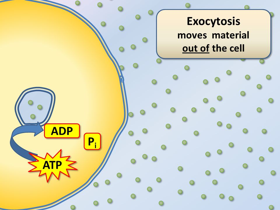Exocytosis moves material out of the cell Exocytosis moves material out of the cell ATP ADP PiPi PiPi