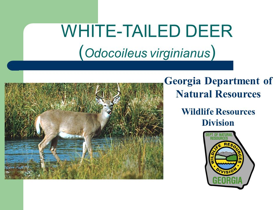 WHITE-TAILED DEER ( Odocoileus virginianus ) Georgia Department of Natural Resources Wildlife Resources Division
