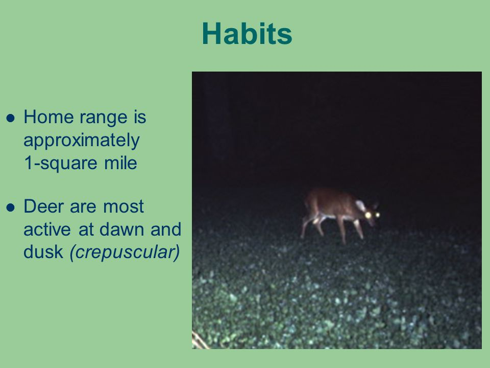 Habits Home range is approximately 1-square mile Deer are most active at dawn and dusk (crepuscular)