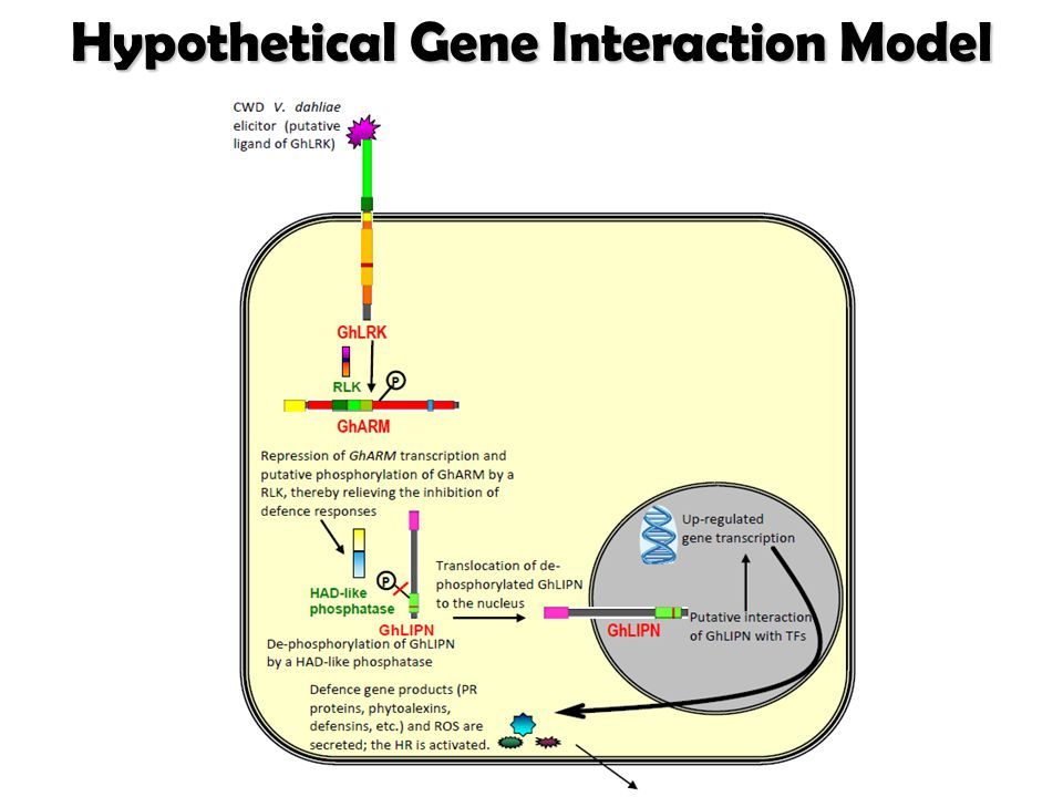 Hypothetical Gene Interaction Model