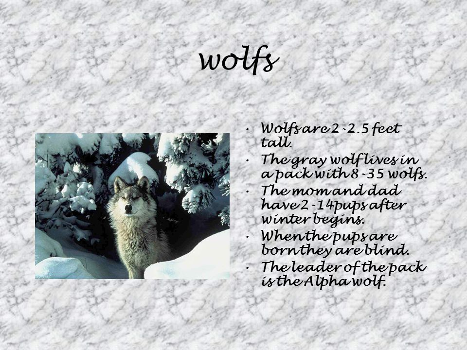 wolfs Wolfs are 2-2.5 feet tall. The gray wolf lives in a pack with 8-35 wolfs.