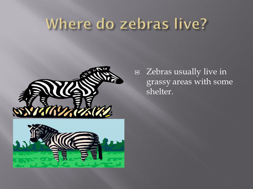  Zebras eat grass, grains, and other foods. They drink water.