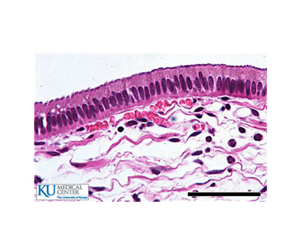 Columnar Epithelial Tissue