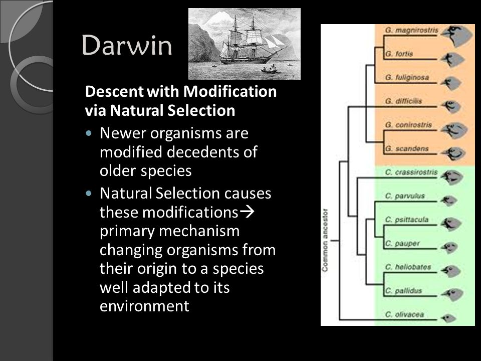 Darwin Descent with Modification via Natural Selection Newer organisms are modified decedents of older species Natural Selection causes these modifications  primary mechanism changing organisms from their origin to a species well adapted to its environment