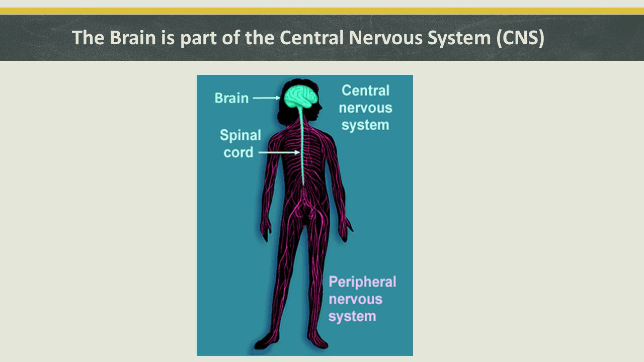 The Brain is part of the Central Nervous System (CNS) Brain