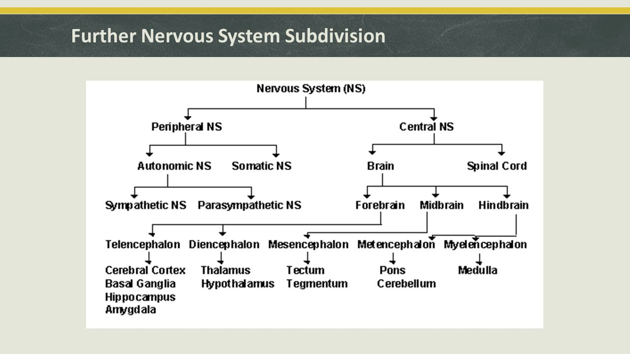 Further Nervous System Subdivision