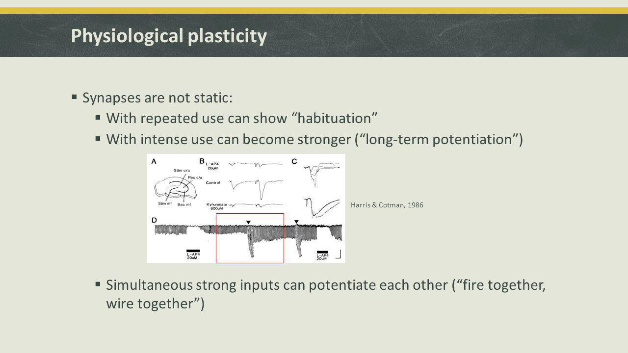 Physiological plasticity  Synapses are not static:  With repeated use can show habituation  With intense use can become stronger ( long-term potentiation )  Simultaneous strong inputs can potentiate each other ( fire together, wire together ) Harris & Cotman, 1986