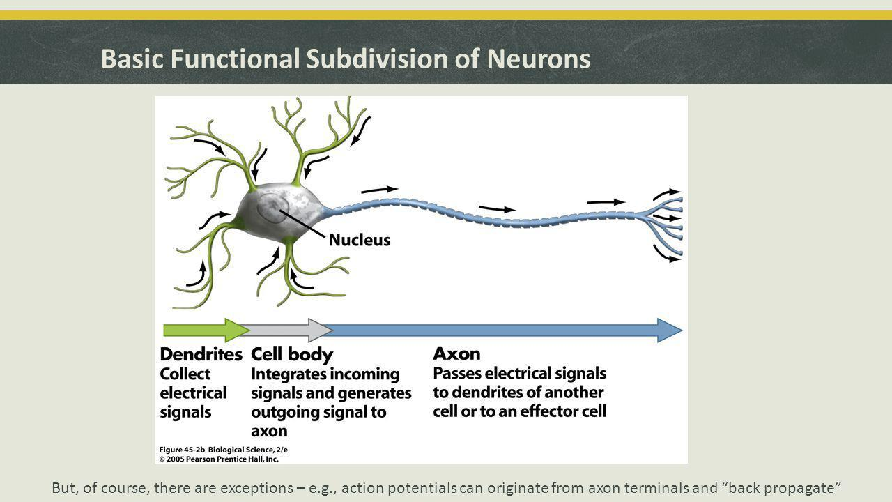 Basic Functional Subdivision of Neurons But, of course, there are exceptions – e.g., action potentials can originate from axon terminals and back propagate