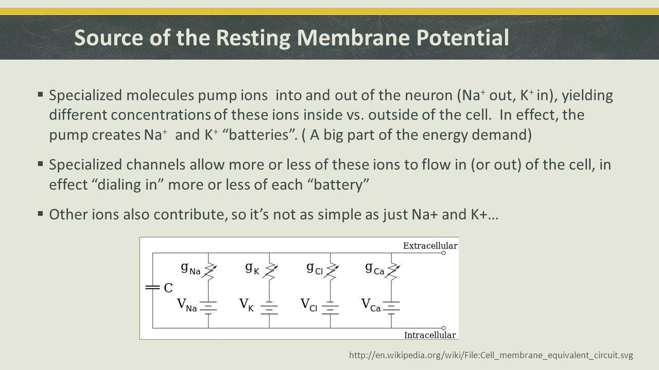 Source of the Resting Membrane Potential  Specialized molecules pump ions into and out of the neuron (Na + out, K + in), yielding different concentrations of these ions inside vs.