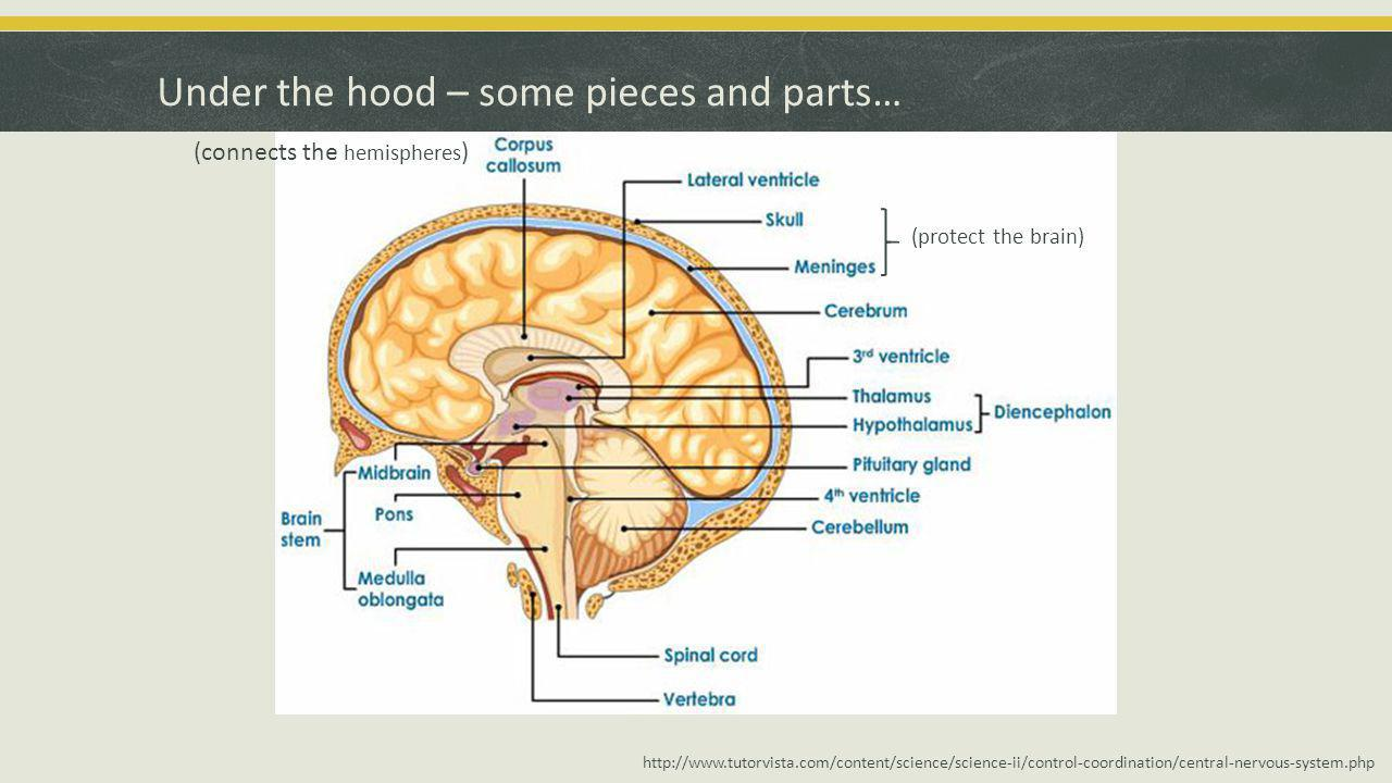 Under the hood – some pieces and parts… http://www.tutorvista.com/content/science/science-ii/control-coordination/central-nervous-system.php (connects the hemispheres ) (protect the brain)