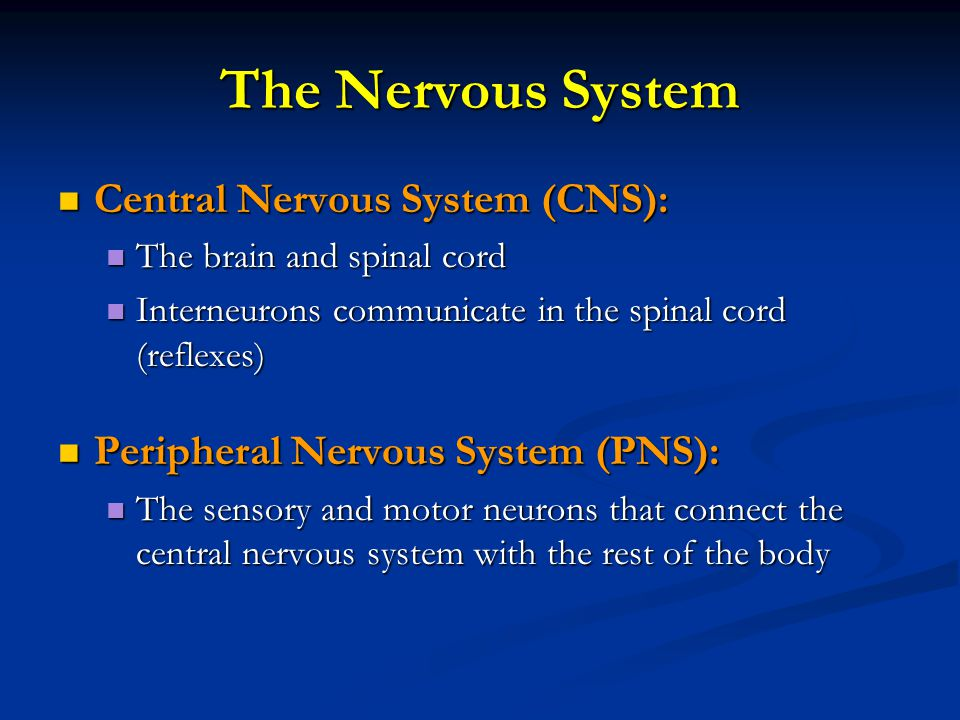 The Nervous System Central Nervous System (CNS): Central Nervous System (CNS): The brain and spinal cord The brain and spinal cord Interneurons communicate in the spinal cord (reflexes) Interneurons communicate in the spinal cord (reflexes) Peripheral Nervous System (PNS): Peripheral Nervous System (PNS): The sensory and motor neurons that connect the central nervous system with the rest of the body The sensory and motor neurons that connect the central nervous system with the rest of the body