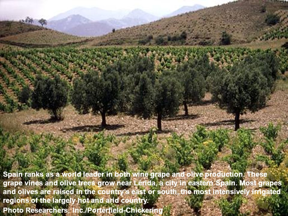 Spain ranks as a world leader in both wine grape and olive production.