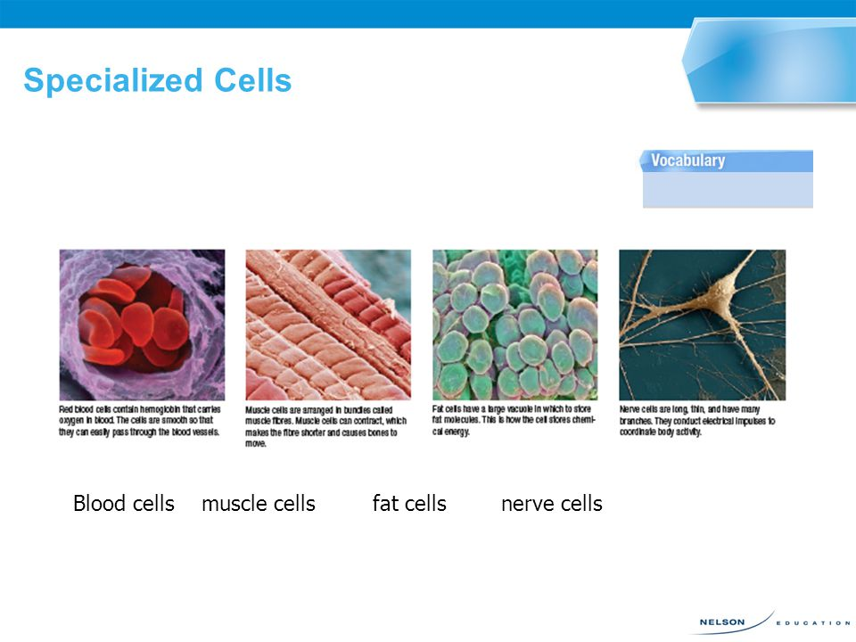 SPECIALIZED CELLS 2.9 Many complex organisms, such as a human being or a maple tree, begin life as a single fertilized egg or a single cell.