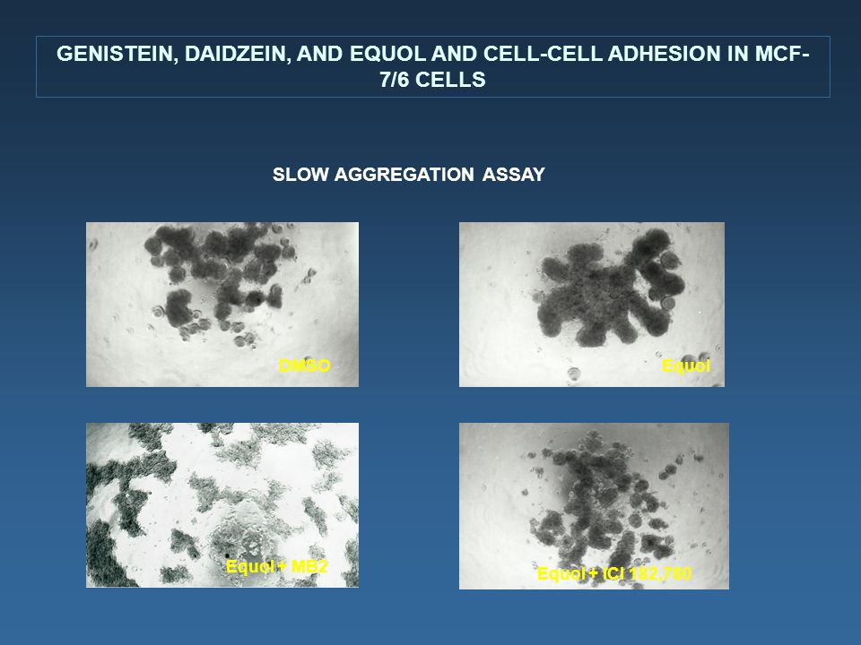 GENISTEIN, DAIDZEIN, AND EQUOL AND CELL-CELL ADHESION IN MCF- 7/6 CELLS DMSOEquol Equol + ICI 182,780 Equol + MB2 SLOW AGGREGATION ASSAY