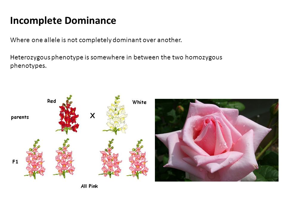 Incomplete Dominance Where one allele is not completely dominant over another.